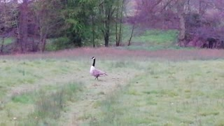 Canada Goose on guard!