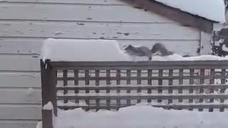 Squirrel Removing Snow From Its Path