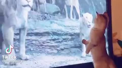 The cat is afraid of the lion on the screen