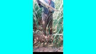 កសិករម្នាក់បានចាប់បានសត្វពោះ១យ៉ាងធំ Farmer catches large animal