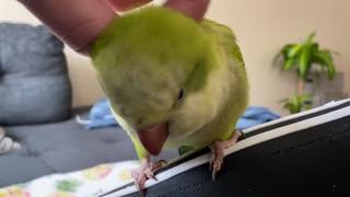 Cute Quaker Parrot Loves Pets