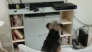 Yorkie loves watching dog films on movie night
