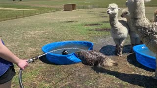 Emu Takes a Not so Graceful Splash in the Pool
