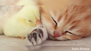 cute kitten video loving with pet Adarshchaudhary