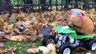 Guinea pig goes four-wheeling on RC vehicle