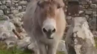 Donkey sound