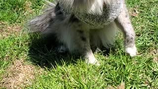 Pomeranian Loves Her Sweater