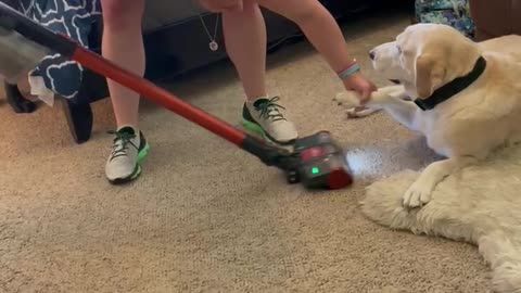 Labrador completely ignores the vacuum cleaner