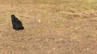 Dog Barking at Drone Overhead