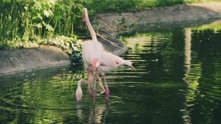 The most beautiful flamingo birds