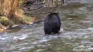 Bear catching salmon.