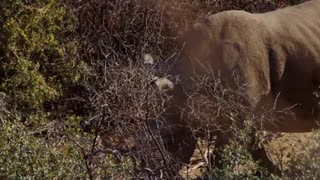 Rhino walking through bushes In Forest