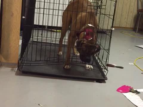 Genius Dog Escapes Cage!