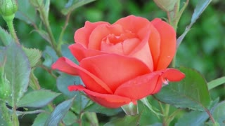 Watch how the roses open every morning
