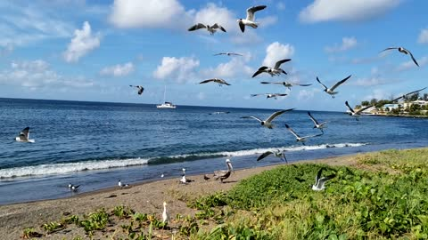 Seabirds gathering on the seashore where food is abundant pt 2