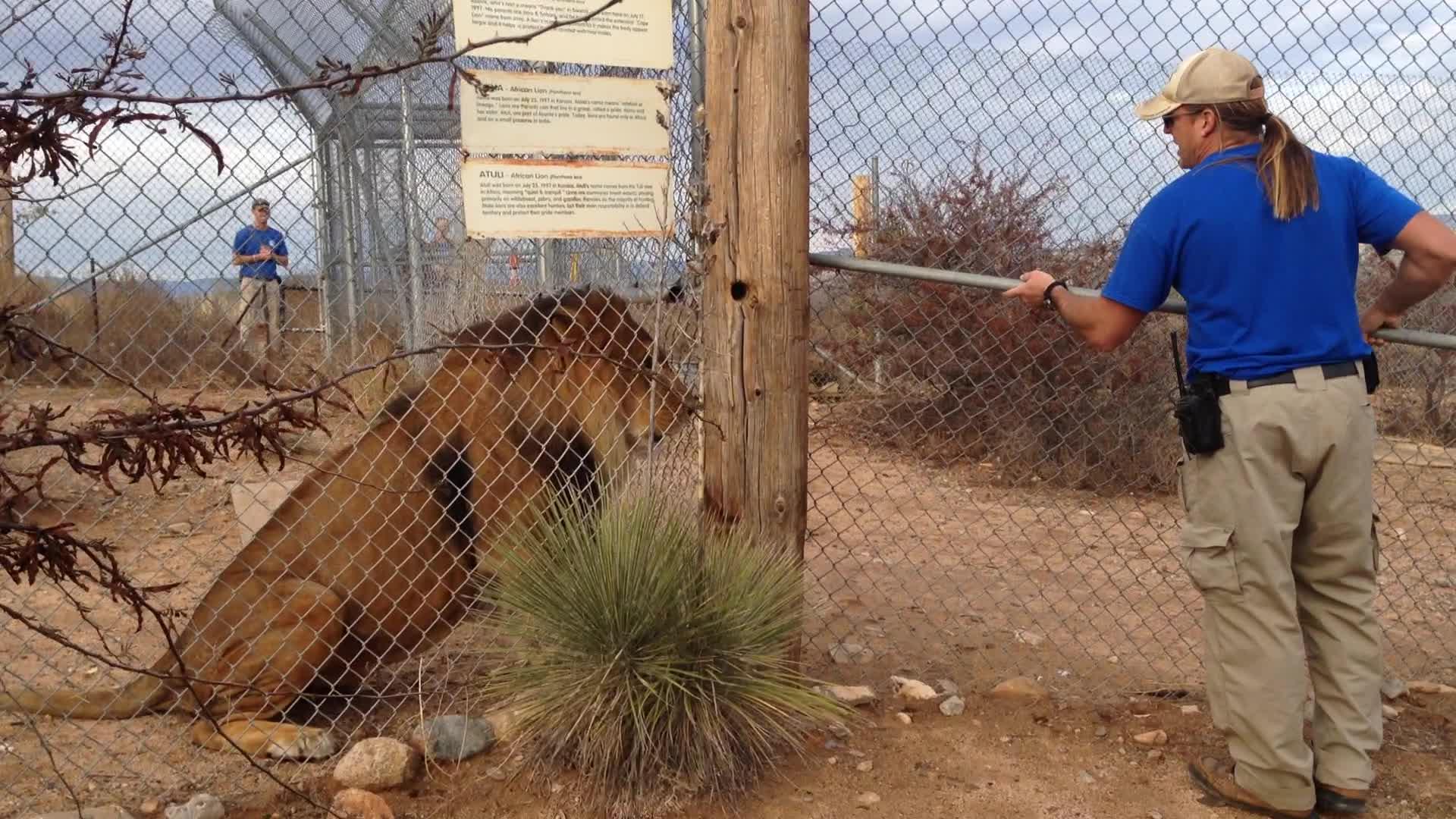 Løven fikk nok av dyrepasseren