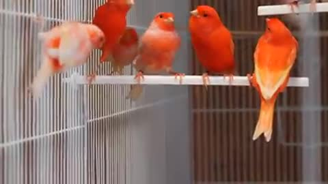 See the most beautiful ornamental birds