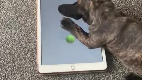 French Bulldog puppy plays video game on owner's tablet 2020