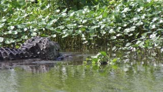 American Alligator downing a large fish in Florida wetlands