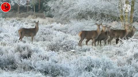 Deer nice video