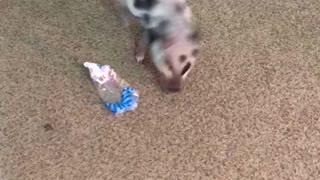 Little piglet adorably plays with plastic wrapping
