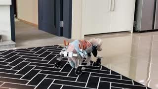 A puppy in a wheelchair 2