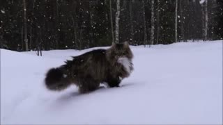 Winter-loving cats run and play in the deep snow