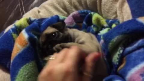 Baby Pug playing peek-a-boo