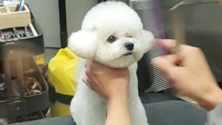 Cute little puppy gets fresh new haircut