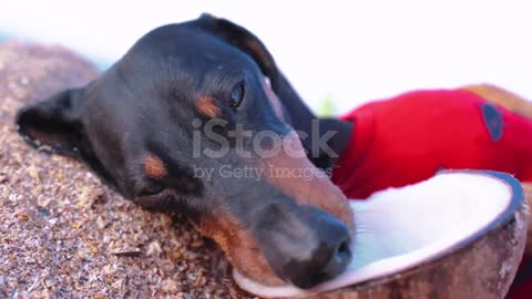 💗Cute dog , black and tan, rinking a coconut cocktail at the beach sea on summer vacation #10💗