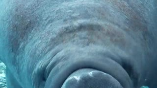 Silly manatee swims right into aquarium glass