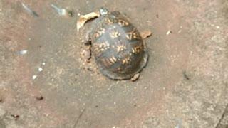 I found a box turtle