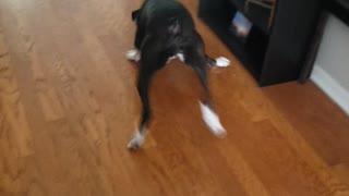 Doggo attack toy🤣🤣