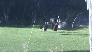 Wild Turkeys Duke it out