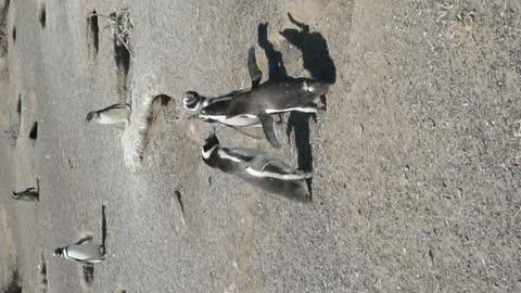 Duelling Penguins
