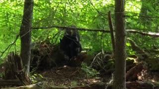 Black Bears in Cades Cove Come in Close