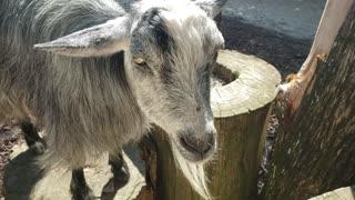Bearded Black and White Goat