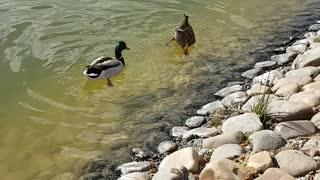 Ducks looking for food .