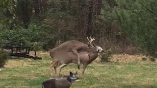 Deer Confused by Broken Doe