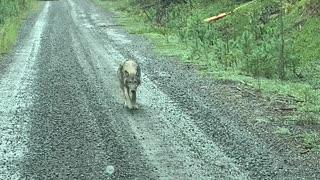 Lone Wolf Wanders Along Mountain Road