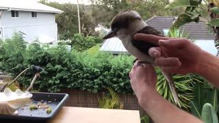 Friendly and Cute Kookaburra
