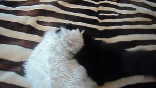 Black and white cats fighting