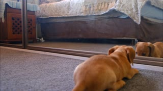 dog fighting with his reflection