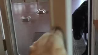 Check out how this jealous Labrador gets attention all for herself