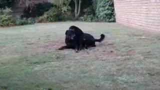 Rottweiler Best Friends Playing