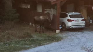 Young Moose Plays with Backyard Chimes