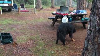 Bernese Mountain Dog Hilariously Misses Catching Treats