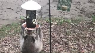 Hungry Raccoon Hangs from Feeder