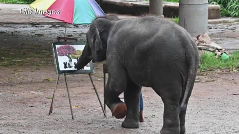 Abusive taming of baby elephant for Thai tourism