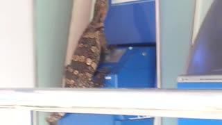 Lizard Tries to Break into Bank